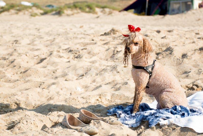 Caniche lindo en la playa imagen de archivo libre de regalías