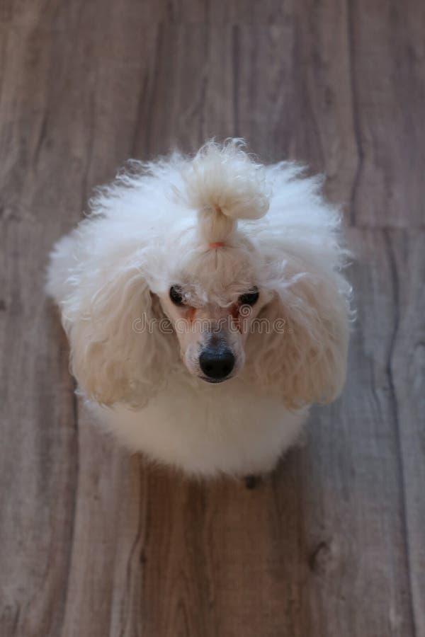 Caniche miniature blanc mignon et pelucheux superbe image stock