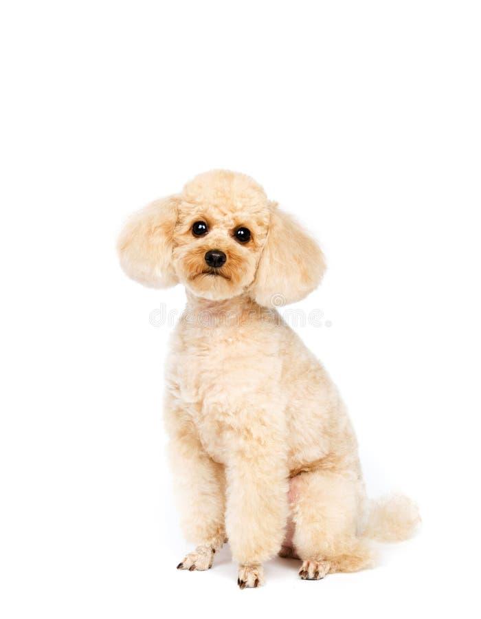 Caniche pequena do abricó que senta-se em um fundo branco fotografia de stock royalty free