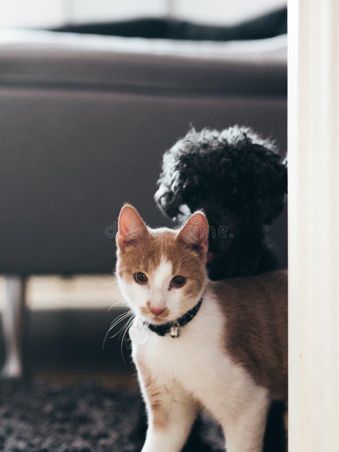 Caniche preta que sneaking atrás do gato fotos de stock royalty free