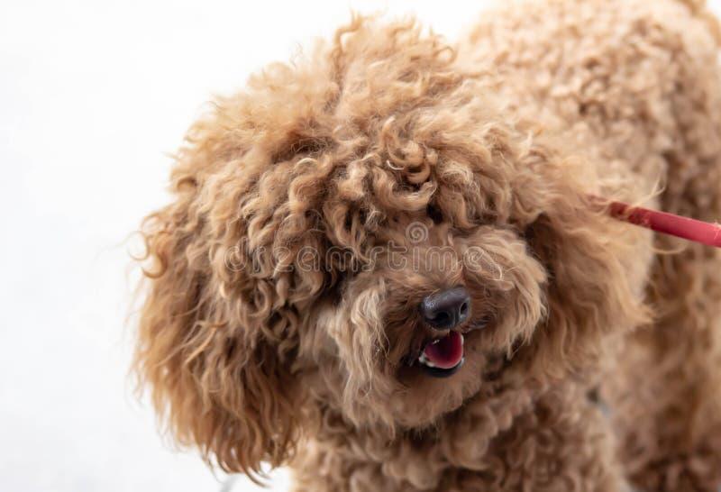 Caniche: a temperamento a classificação de FCI diz que o caráter da caniche é aquele de um cão do companheiro, colocando o no 9o foto de stock