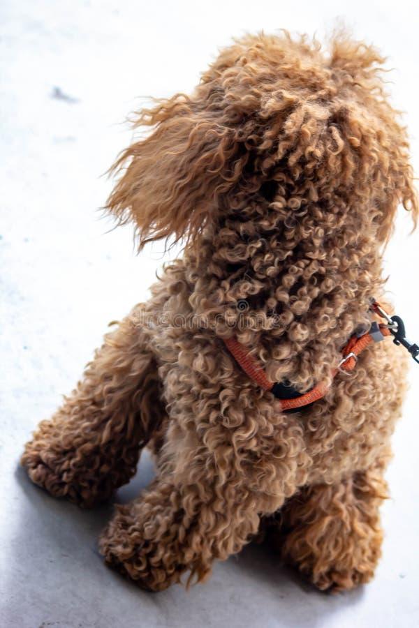 Caniche: a temperamento a classificação de FCI diz que o caráter da caniche é aquele de um cão do companheiro, colocando o no 9o fotos de stock
