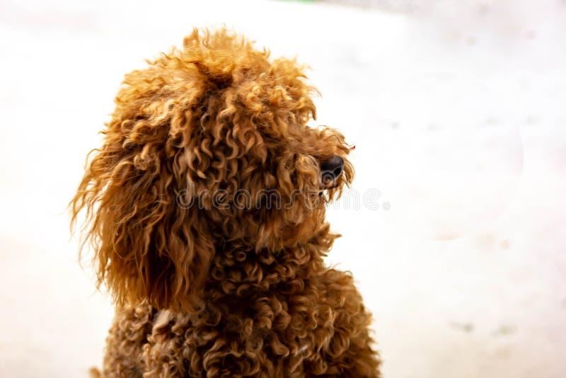 Caniche: a temperamento a classificação de FCI diz que o caráter da caniche é aquele de um cão do companheiro, colocando o no 9o imagem de stock