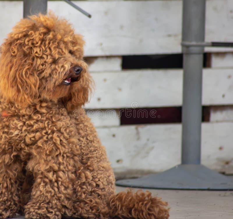 Caniche: a temperamento a classificação de FCI diz que o caráter da caniche é aquele de um cão do companheiro, colocando o no 9o fotografia de stock