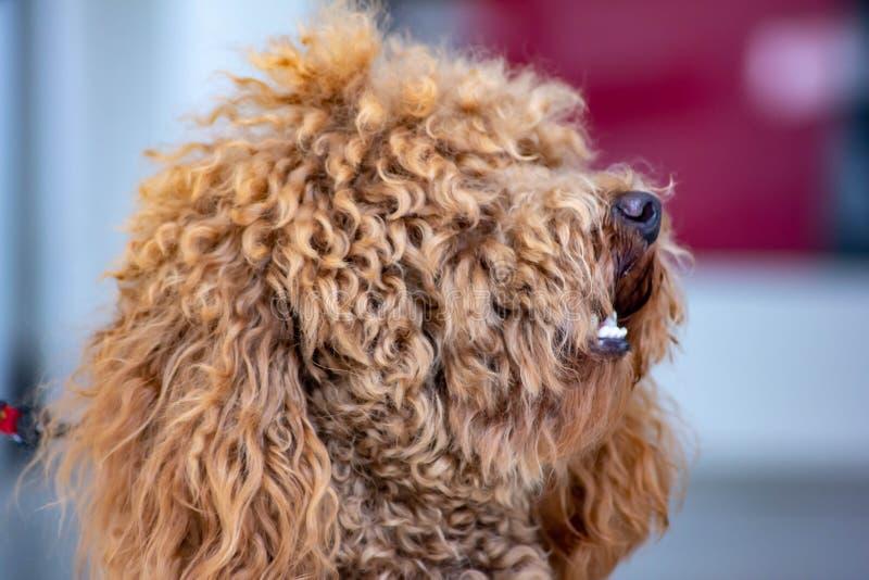 Caniche: a temperamento a classificação de FCI diz que o caráter da caniche é aquele de um cão do companheiro, colocando o no 9o foto de stock royalty free