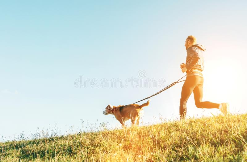 Canicross exercises. Man runs with his beagle dog at sunny morning royalty free stock image