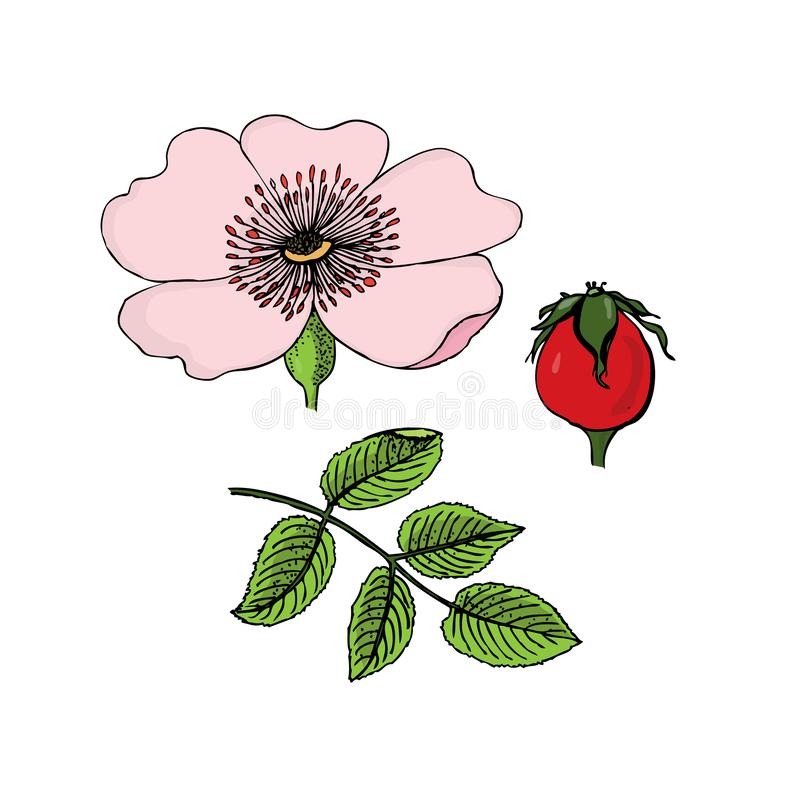 Canina de Rosa Chien-rose Fleurs, baies, feuilles, tige Illustration de revêtement de couleur sur le fond blanc illustration libre de droits