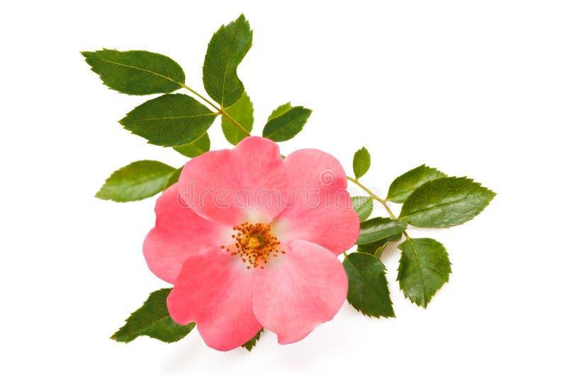 canina rosa royaltyfri bild