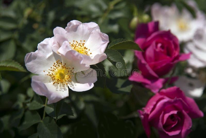 canina rosa стоковая фотография rf