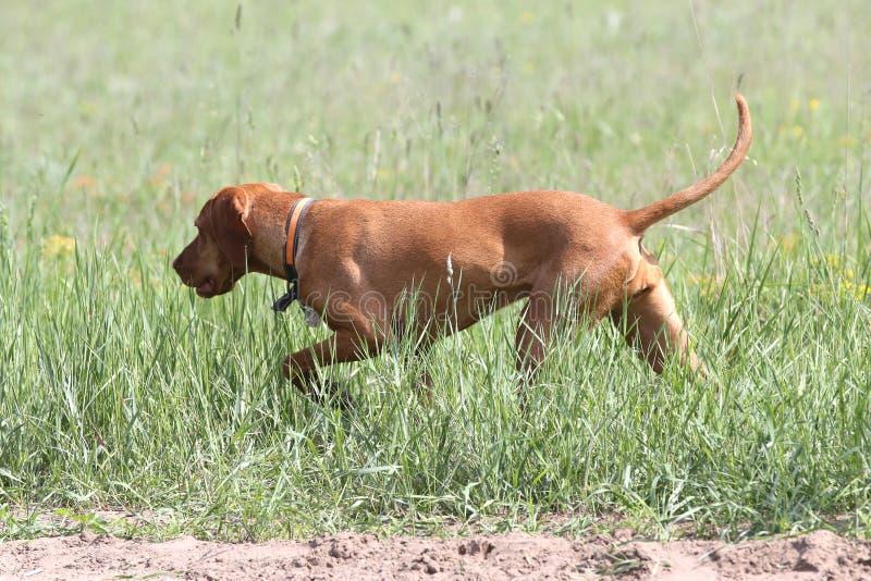 Canine σκυλιών Vizsla ένας πιστός φίλος του κυνηγού Λεπτομέρεια του κεφαλιού σκυλιών στοκ εικόνες με δικαίωμα ελεύθερης χρήσης