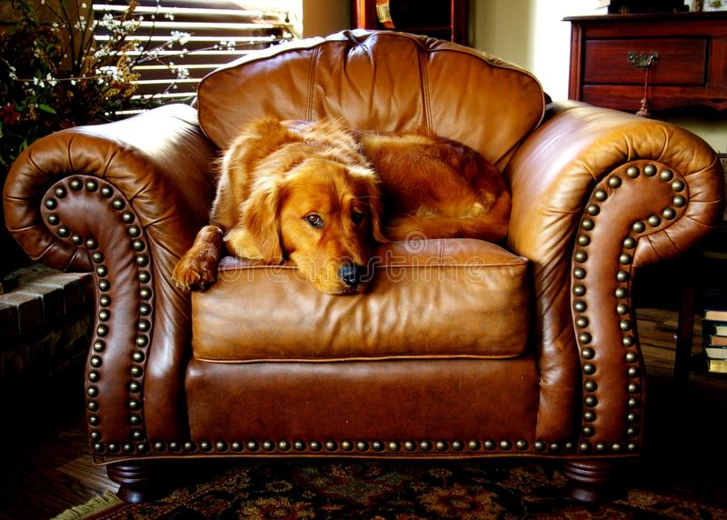 Canine, Chair, Cushion royalty free stock image