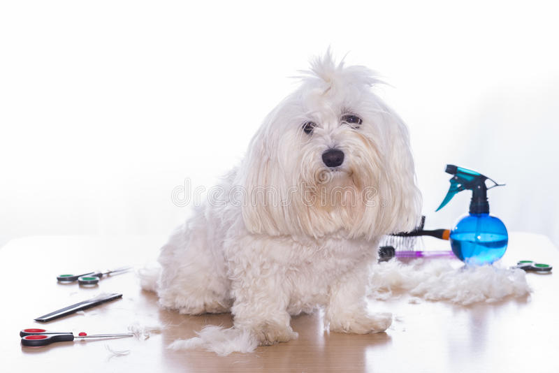 Canine hair cut. royalty free stock photography