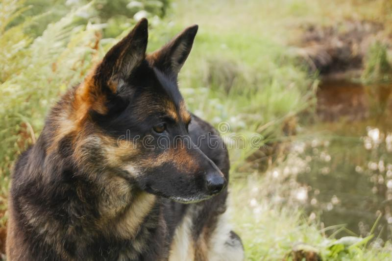 Canine profile on a forest background royalty free stock photography
