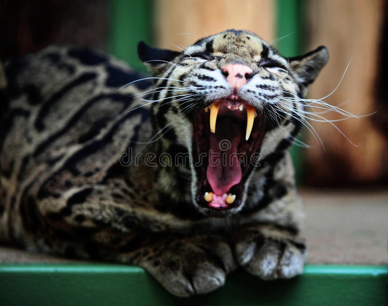 Canines. Of Clouded leopard yawning in a ZOO cage royalty free stock photography