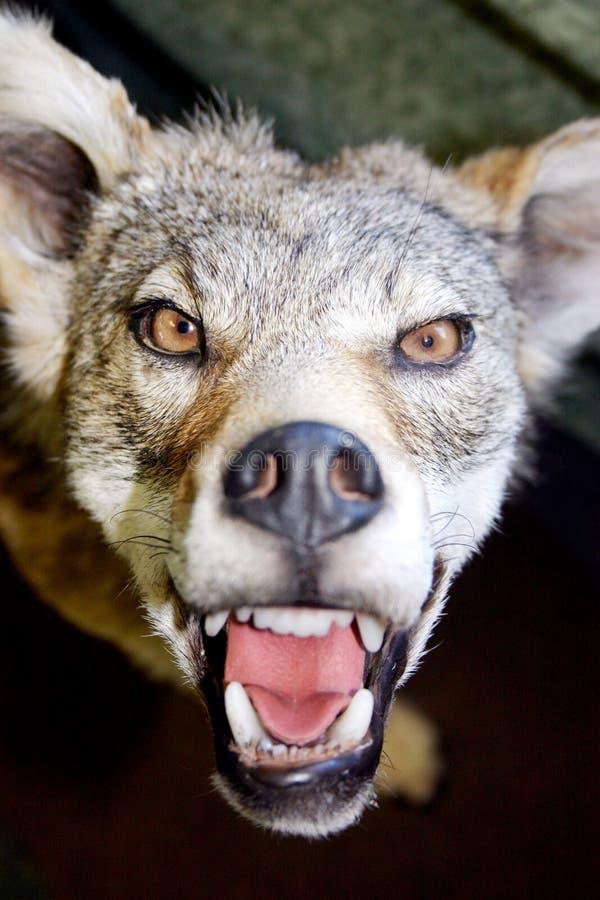 Canino arrabbiato immagini stock