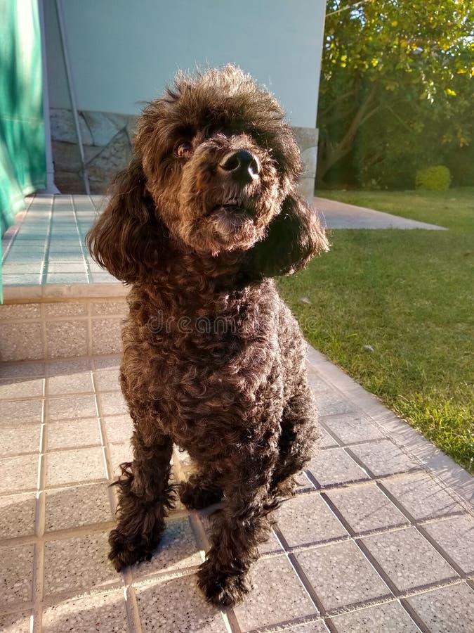 Canino doce foto de stock