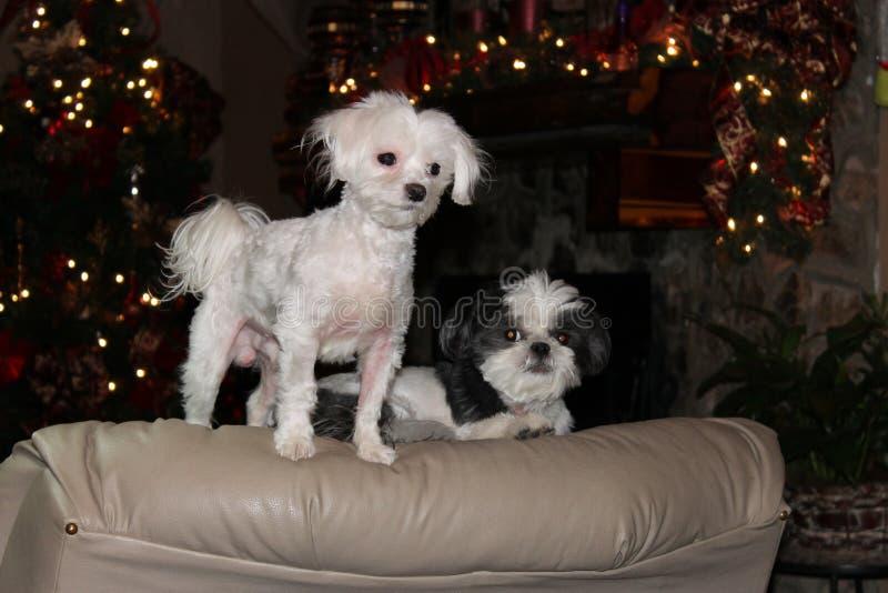 ` Canino s su una sedia al Natale immagini stock libere da diritti