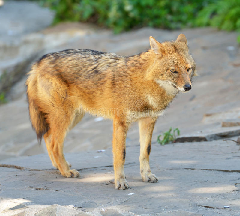 Canis dourado do chacal áureo fotografia de stock