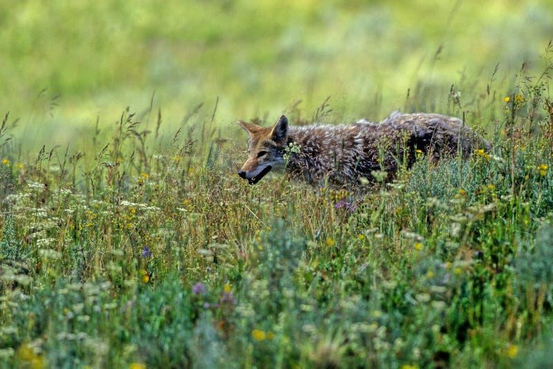Download Canis kojota latrans zdjęcie stock. Obraz złożonej z dziki - 13328810