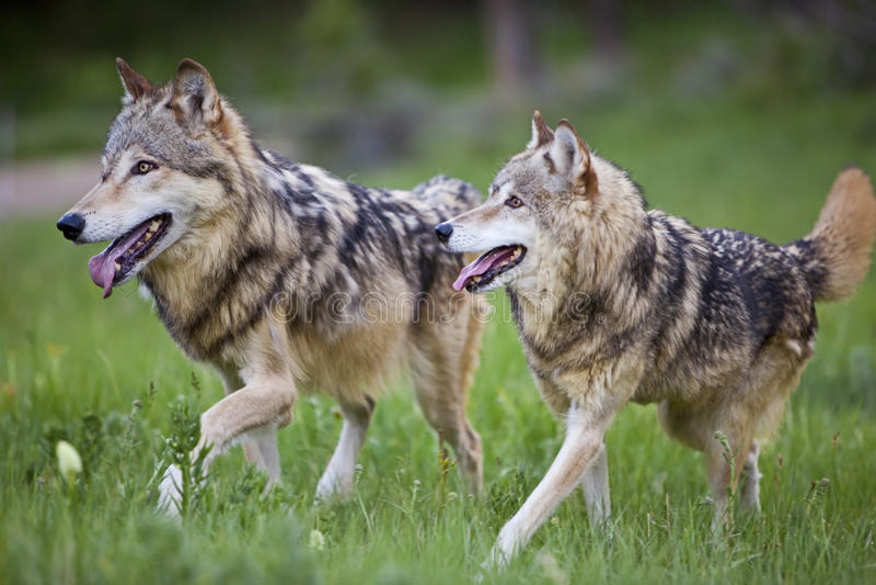 Canis Lupis för gråa wolves royaltyfria foton
