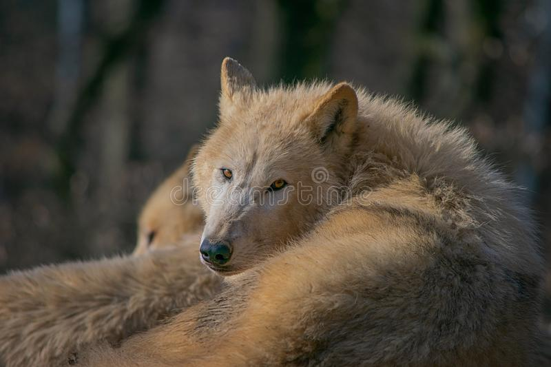 Canis lupus arctos. The Arctic wolf Canis lupus arctos, also known as the white wolf or polar wolf, is a subspecies of gray wolf native to Canada`s Queen royalty free stock photo