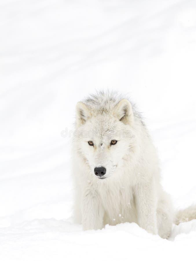 Canis lupus Arktyczni wilczy arctos stoi w zima śniegu w Kanada obraz stock