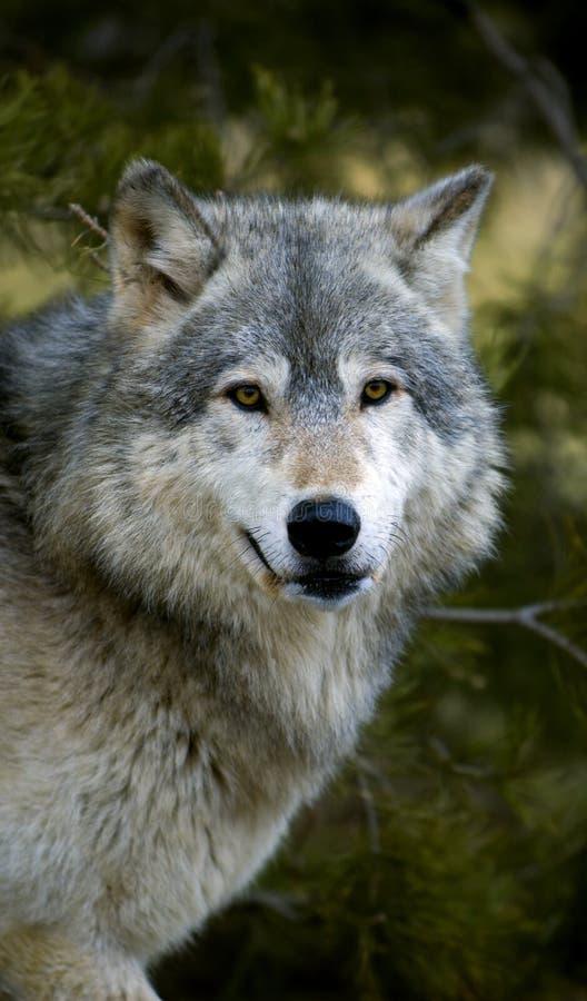 canis lupus gapienia wilk z drewna zdjęcie stock