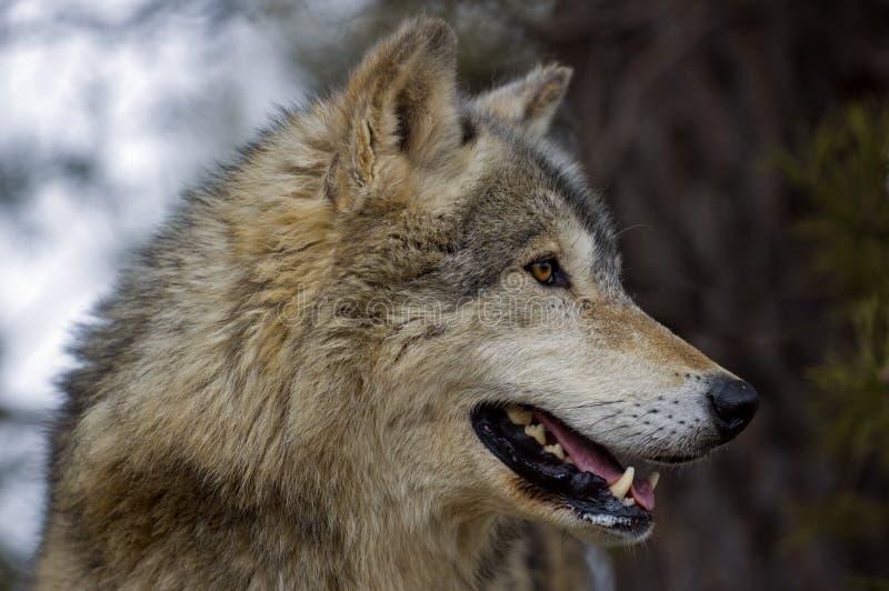 canis lupus profilu wilk z drewna fotografia stock
