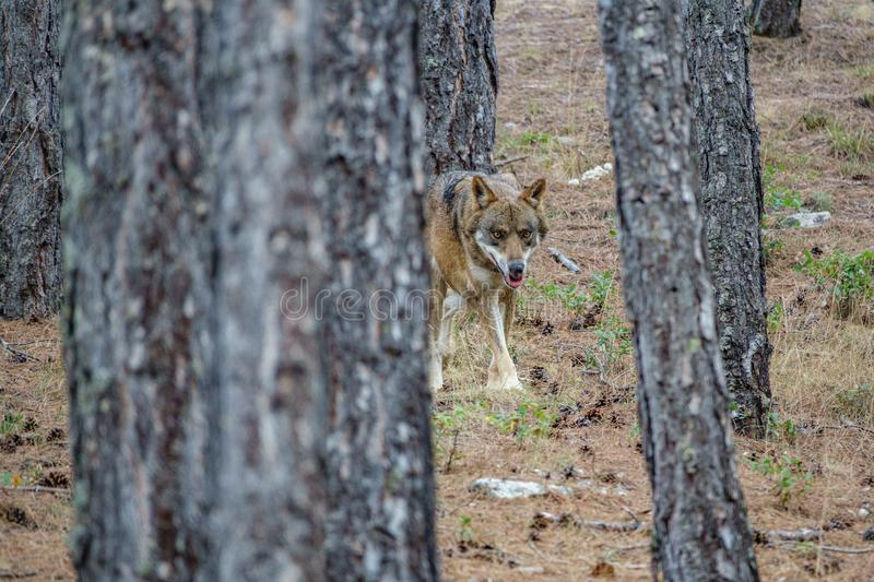 Canis Lupus Signatus between pine tree trunks n3 royalty free stock images