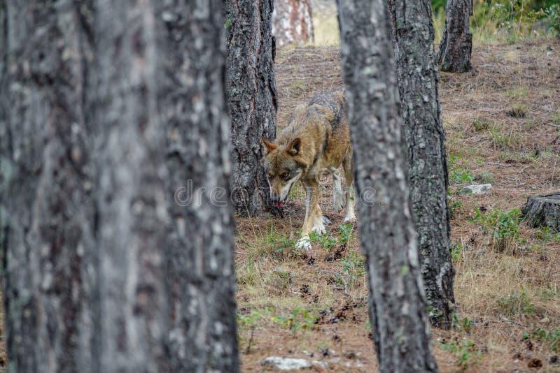 Canis Lupus Signatus between pine tree trunks n2 stock photos