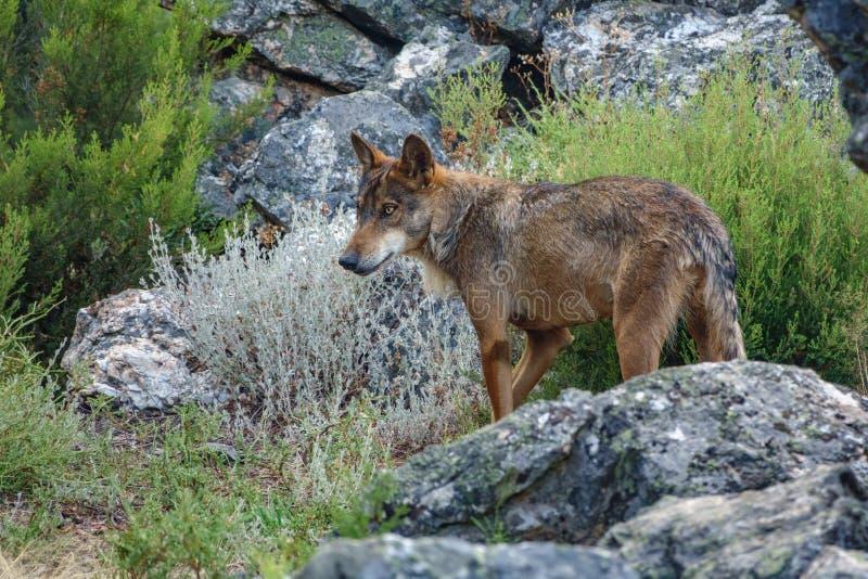 Canis Lupus Signatus watching over rocks stock photos