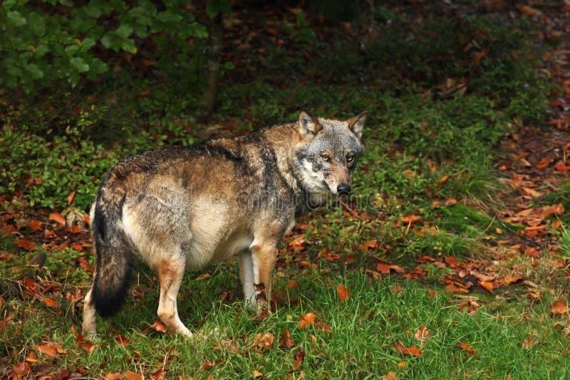 Canis Lupus Wolf in de herfstaard royalty-vrije stock afbeeldingen