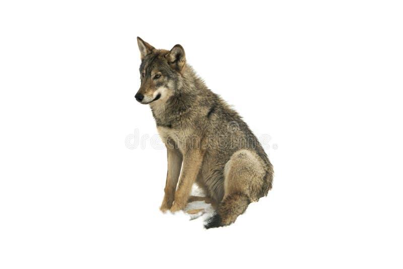 Canislupus för grå varg som isoleras på snö fotografering för bildbyråer