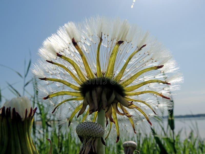 Cankerwort som ut står mot himlen fotografering för bildbyråer