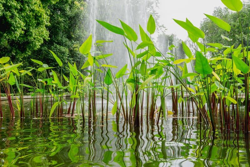 Canna воды стоковые изображения