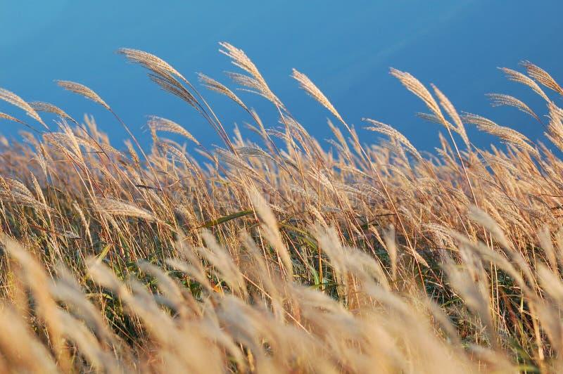 Canna alpina fotografie stock