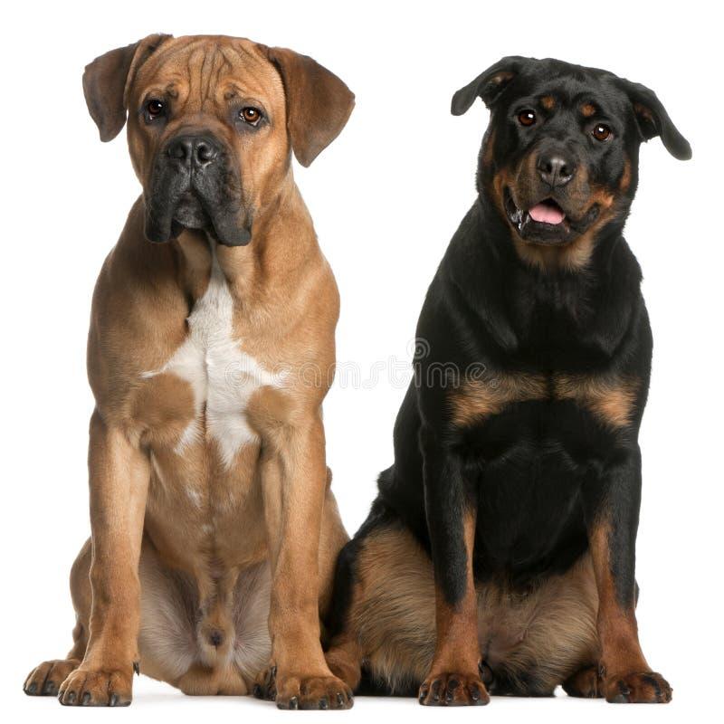 Canna Corso e un Rottweiler immagine stock libera da diritti