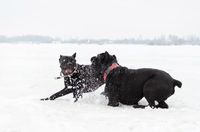 Canna Corso Gioco dei cani a vicenda fotografia stock