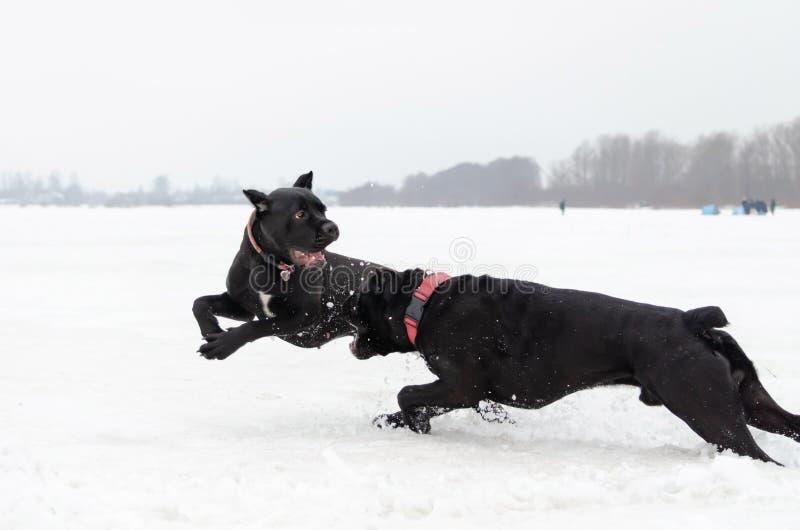 Canna Corso Gioco dei cani a vicenda fotografia stock libera da diritti
