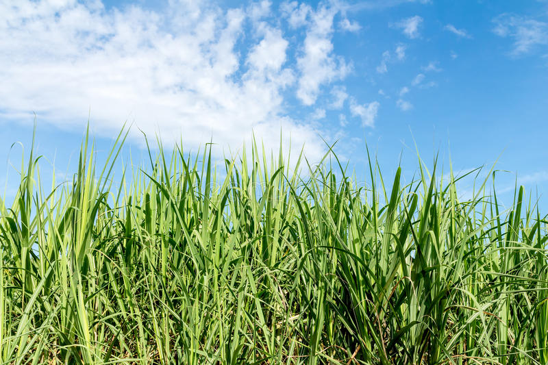 Canna da zucchero immagine stock libera da diritti