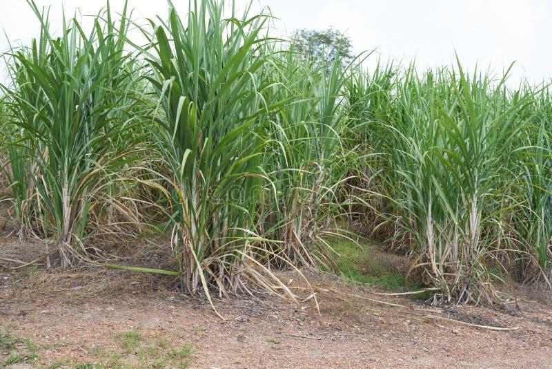 Canna da zucchero che cresce nel campo immagini stock libere da diritti