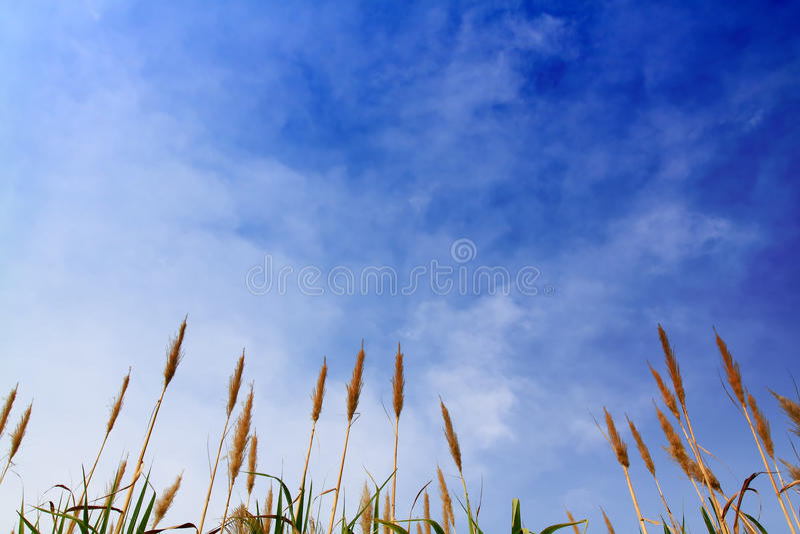 Canna da zucchero con cielo blu fotografia stock libera da diritti