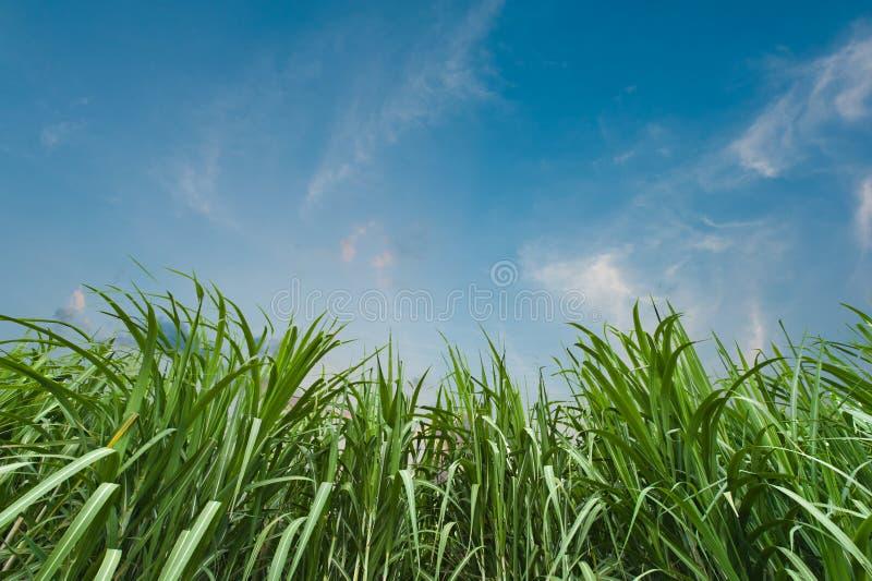 Canna da zucchero con cielo blu fotografia stock