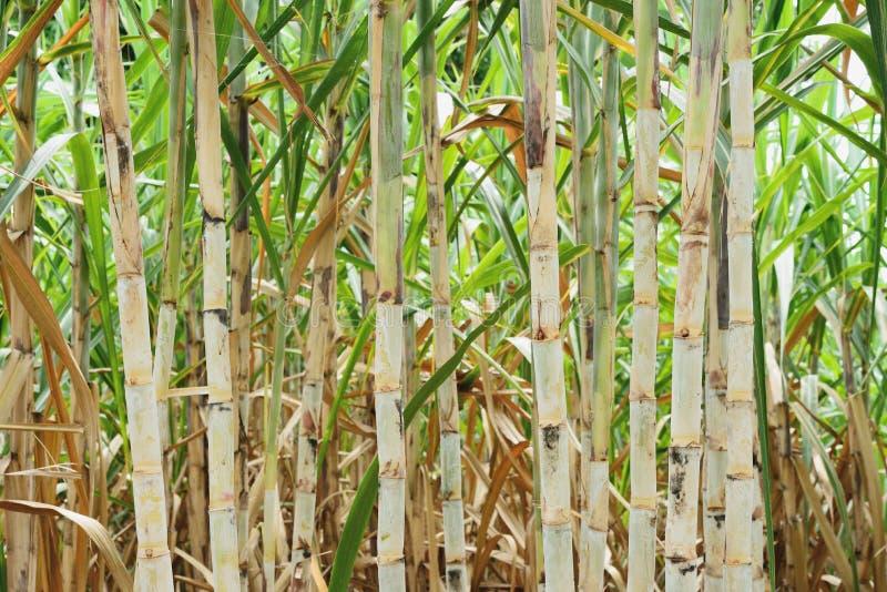 Canna da zucchero dopo la pianta fotografia stock