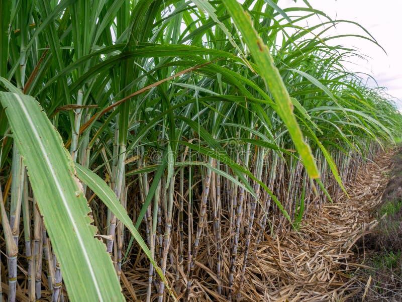 Canna da zucchero e parte dell'azienda agricola dello zucchero immagini stock