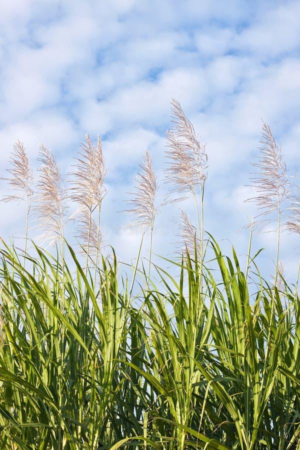 Canna da zucchero in fioritura immagini stock