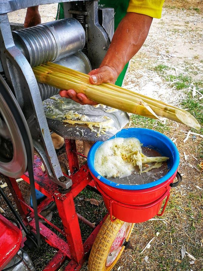 Canna da zucchero fresca in giardino Ha un sapore dolce e buon per salute Sappia bene come tebu in Malesia fotografia stock libera da diritti