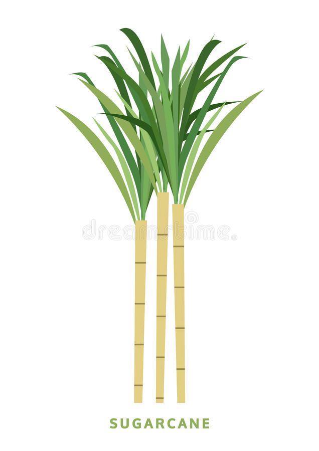 Canna da zucchero, illustrazione di vettore della canna, simbolo illustrazione di stock