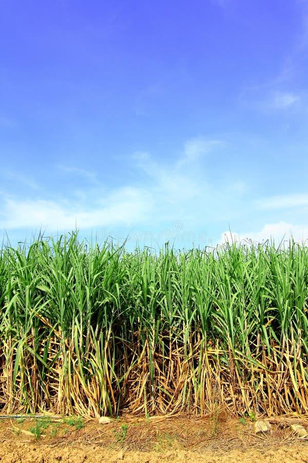 Canna da zucchero in Tailandia immagini stock