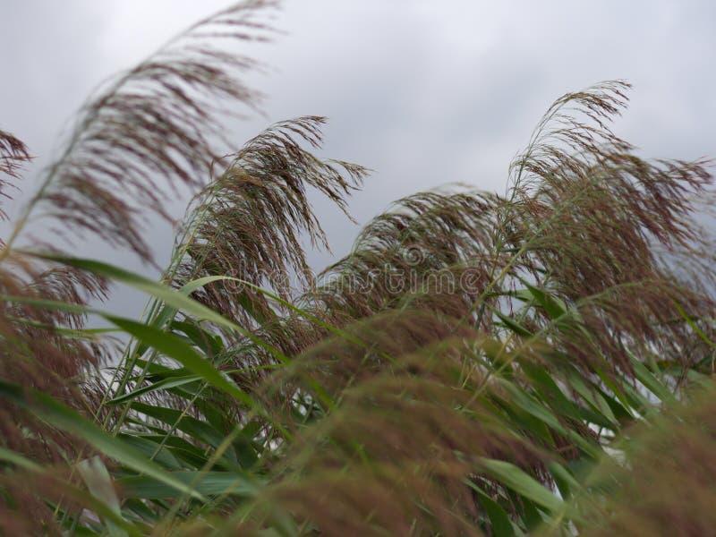 Canna dell'acqua nel vento immagini stock libere da diritti
